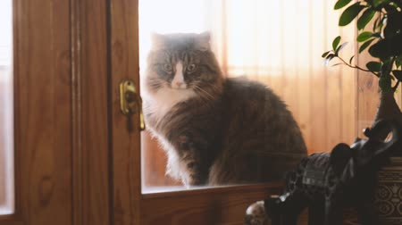 coon : cat sits on the windowsill and wants to go in the house Stock Footage