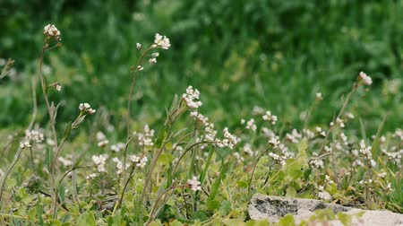 pratensis : field wild flowers closeup near stone Stock Footage