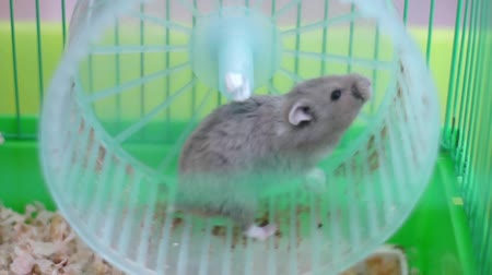 rodas : Hamster on wheel in a cage