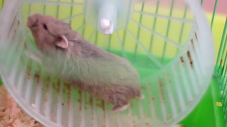 gaiola : Hamster on wheel in a cage