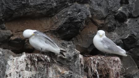 kittiwake : Kittiwake birds on the rock