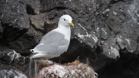 kittiwake : Kittiwake bird on the rock