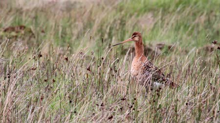 limosa : Bar tailed godwit in Iceland Stock Footage