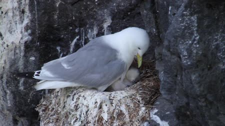 kittiwake : Kittiwake taking care of her Chicks in Iceland