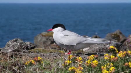 arctic bird : Beautiful shot of Arctic Tern bird