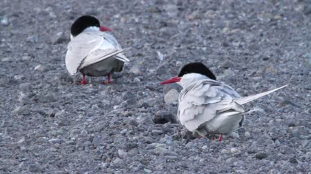 arctic bird : Beautiful shot of Arctic Tern birds