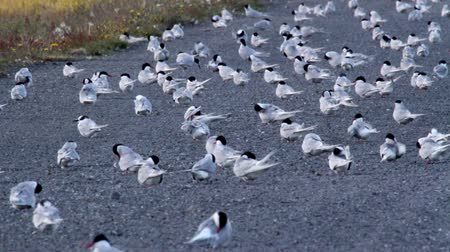 arctic bird : Beautiful shot of Arctic Tern Flock of birds