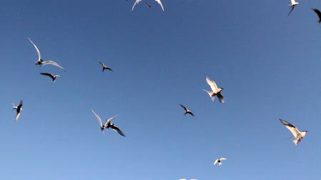 arctic bird : Arctic Tern flock flies over the camera