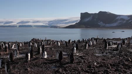 chinstrap : Staedy shot of Chinstrap penguin colony in Antarctica