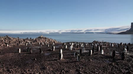 chinstrap : Pan shot of Chinstrap penguin colony in Antarctica