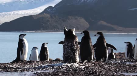 chinstrap : Chinstrap penguin flock on the beach of Antarctica