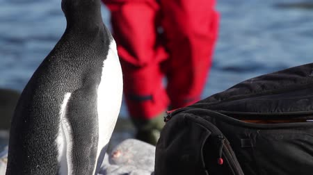 chinstrap : Chinstrap penguin looks on aman bag Antarctica