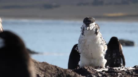 rookery : Chinstrap penguin in Antarctica Stock Footage