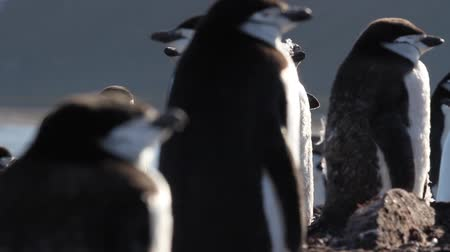 chinstrap : Chinstrap penguin walking in the colony Stock Footage