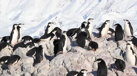 chinstrap : Chinstrap penguin colony on a Rock in Antarctica