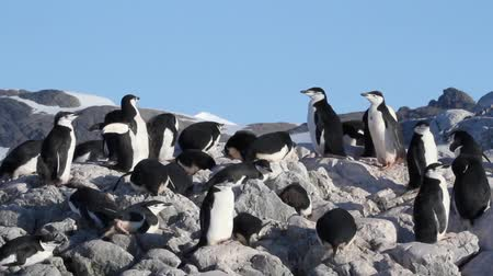 chinstrap : Sail shot of Chinstrap penguin colony in Antarctica