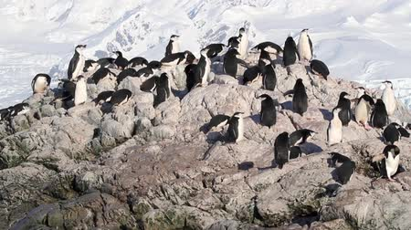 chinstrap : Chinstrap penguin colony in Antarctica Stock Footage