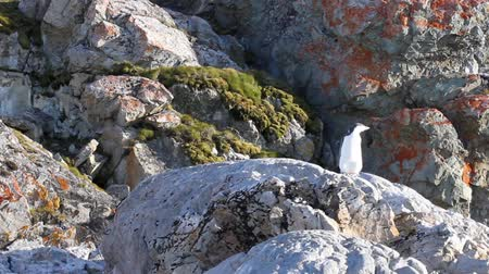 chinstrap : Lonley Chinstrap penguin standing on a rock in Antarctica