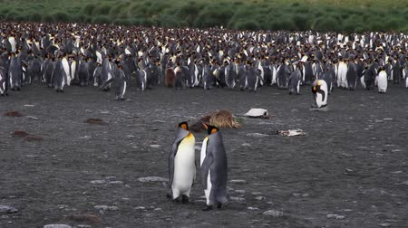 колония : KIng penguin Colony with chicks in Antarctica