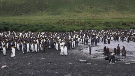 kolonie : KIng penguin Colony with chicks in Antarctica