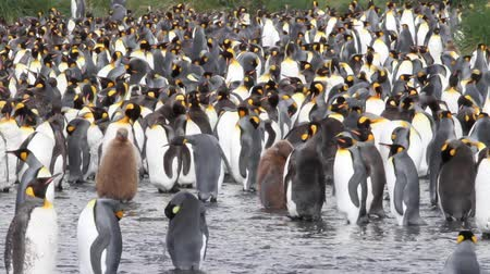 polar circle : KIng penguin Colony with chicks in Antarctica