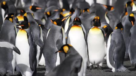 király : KIng penguin Colony with chicks in Antarctica