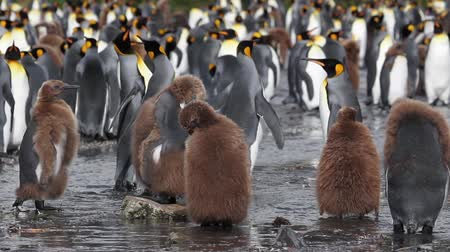 polar circle : Pan shot of KIng Penguin Colony with chicks in Antarctica