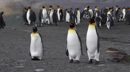 polar circle : Staedy shot of  KIng penguin Colony with chicks standing  in Antarctica Stock Footage