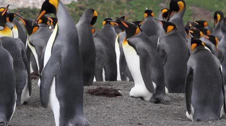 zsúfolt : Staedy shot of KIng penguin Colony with chicks in Antarctica
