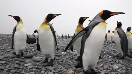 polar circle : KIng penguin Colony with chicks on the beach of Antarctica