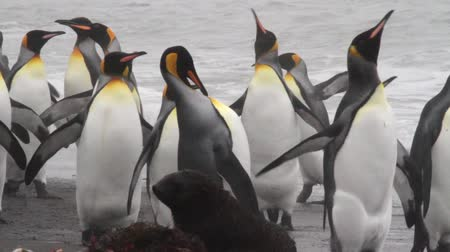 polar circle : KIng penguins on the shore of Antarctica