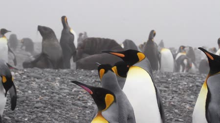 polar circle : KIng penguin and southern fur seals in Antarctica Stock Footage