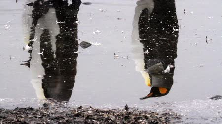 polar circle : KIng penguins reflection in the water