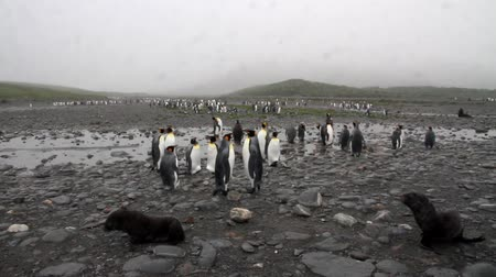 polar circle : Steady shot of KIng Penguin colony and southern fur seals