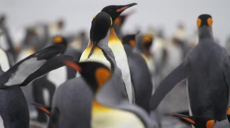polar circle : Medium shot of KIng Penguins colony on the beach of Antarctica