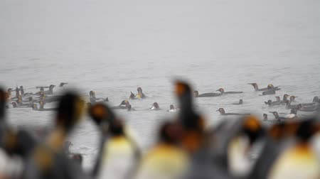 polar circle : Medium shot of KIng Penguins colony in the water of Antarctica