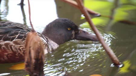 northern nature : Northern shoveler swim in the lake Stock Footage