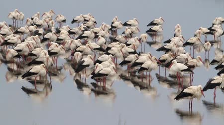 painted stork : Beautiful shot of White Storks flock roosting in the rain