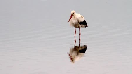 painted stork : Beautiful shot of White Stork standing in the water in hula velley
