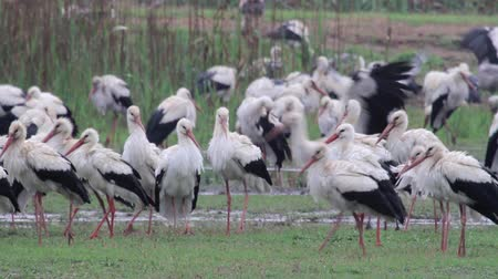 painted stork : Beautiful shot of White Storks flock roosting in hula velley