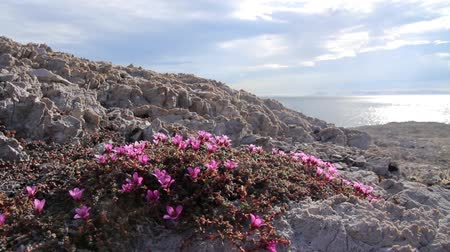 noruega : Steady shot of Saxifrage flower on rocks and sea
