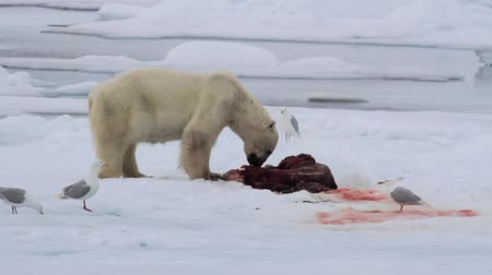 presa : Polar bear eating seal on ice in spitsbergen Norway