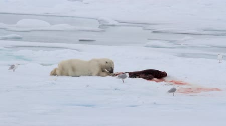 полярный : Polar bear eating seal on ice in spitsbergen Norway