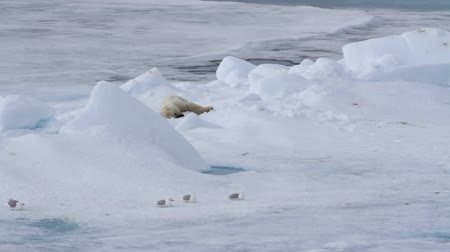 полярный : Beautiful shot of Polar bear sleeping on ice in norway