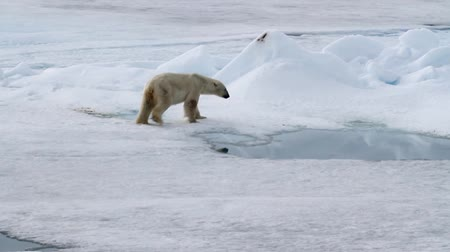 pecsét : Polar bear eating seal on ice in spitsbergen Norway