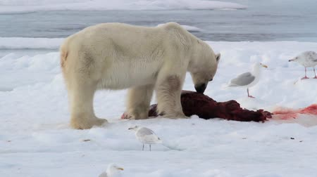 полярный : Polar bear and seagull eating seal on ice in spitsbergen Norway