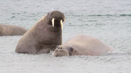 polar circle : Steady shot of Walrus in the water