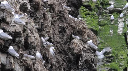 kittiwake : Kittiwakes Flock standing on cliff in Norway