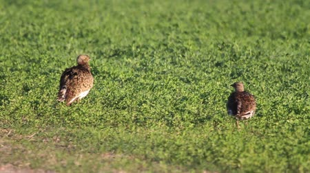 otis : Little bustard walking in the field