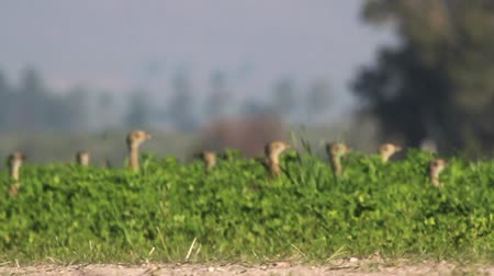 otis : Little bustard in the wheat field